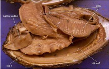 Clam Internal Anatomy  PurposeGames